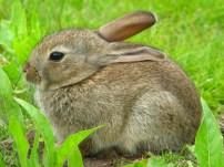 Tiny wild rabbit, Centre Parcs 2013