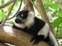 White ruffed Lemur, Madagascar 2013