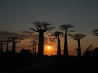 Baobab trees, Madagascar 2013
