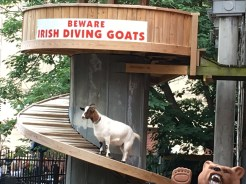 Diving Goats on Beale Street