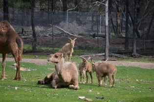 Barbary sheep thinks it owns the place