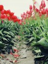 More pictures of the Skagit Valley Tulip Festival below!