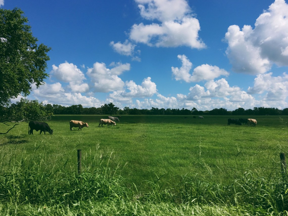 cows-grazing_t20_pxabzW