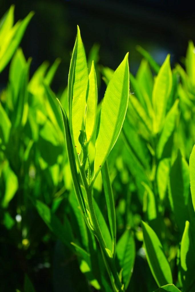 Bay Leaves - Onlinerecipe.website