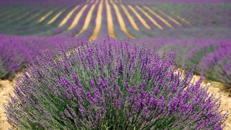 Lavender - TheRecipe.Website