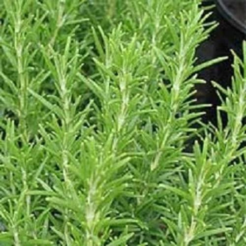Rosemary - TheRecipe.Website