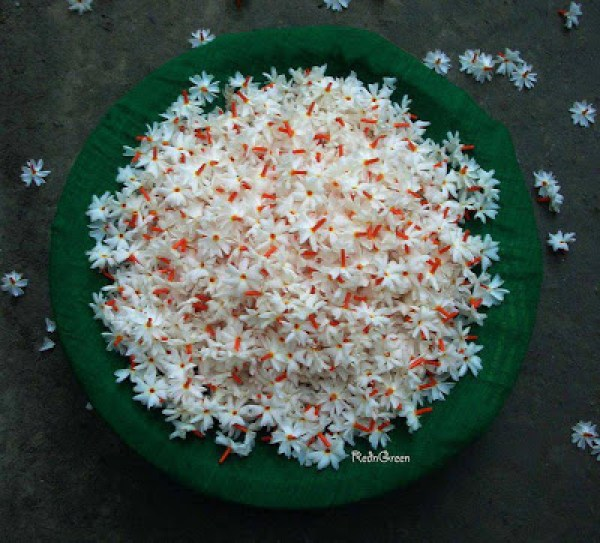 The parijat flower