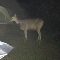 Food hunting Deer