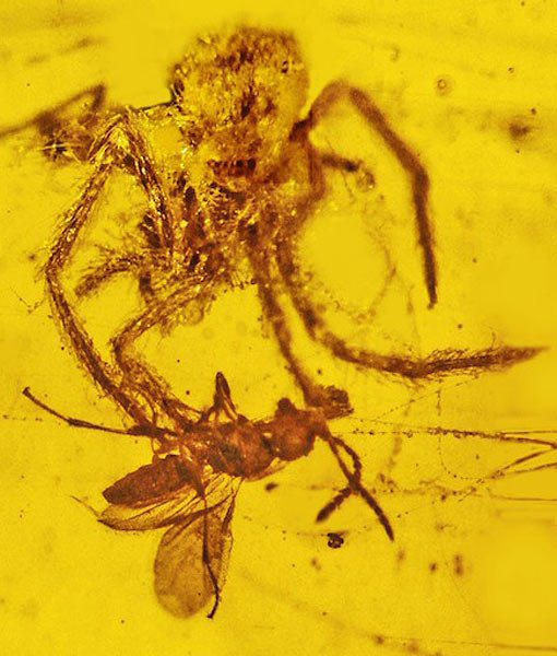 million-year-spider-attack-preserved-amber-510x600