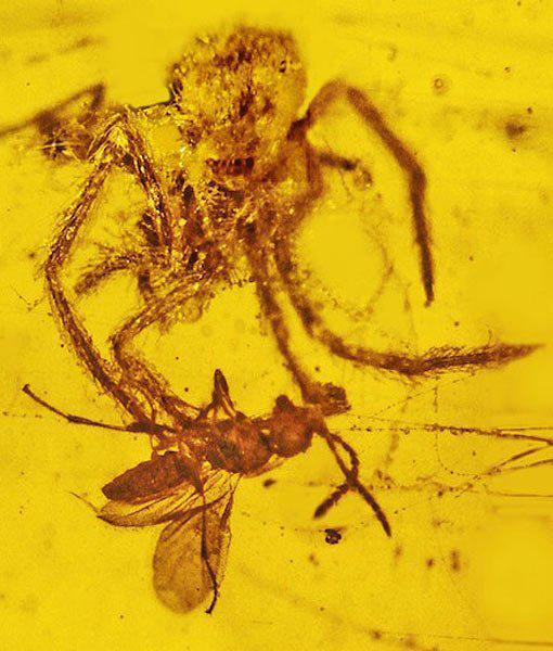 million-year-spider-attack-preserved-amber-510x600