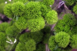 Green Puffy Flowers