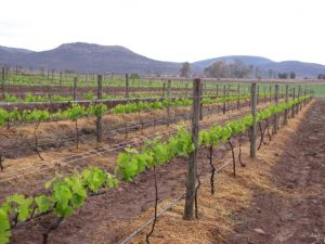 ON THE VINE: Harrison Hope near Whittlesea may be the start of a new tourism opportunity in the Eastern Cape
