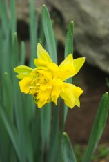 My first daffodil is a little scruffy