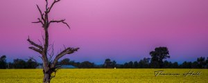 Canola field showing yellow flowers with a dead tree to the side at sunset with a pinky/purply sky.