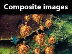 Composite images. Image of turtles and fish swimming under water.