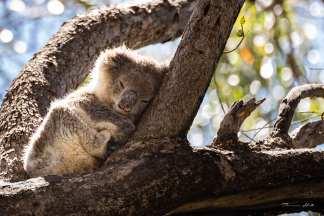 Baby koala having an afternoon nap.