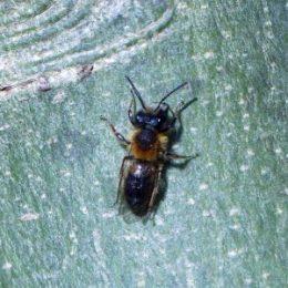 170401-ROSGD-1619-Tawny Mining bee 6