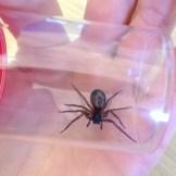 Female false widow spider, Steatoda sp.