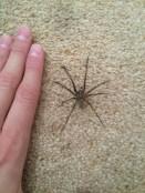 House spider, likely Eratigena atrica)