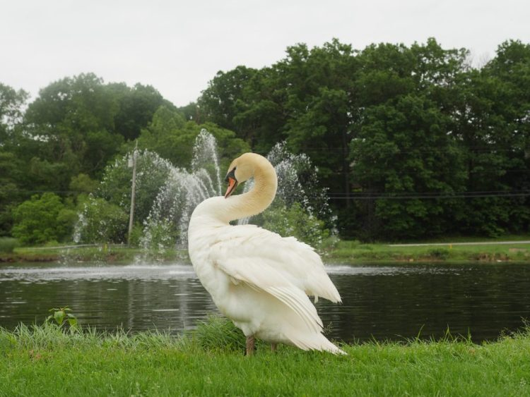 At the Turf Valley Resort golf course, you can spot two beautiful swans.
