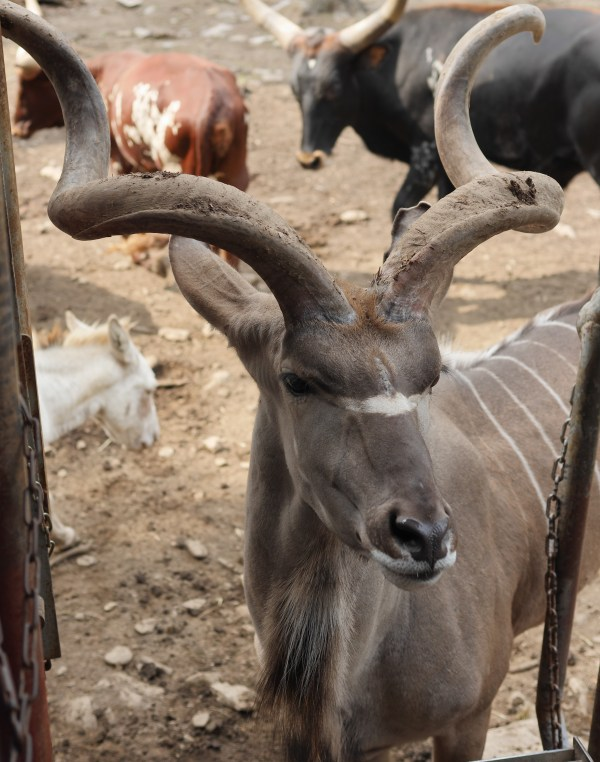A horned animal walks up to a safari truck at the Catoctin Zoo.