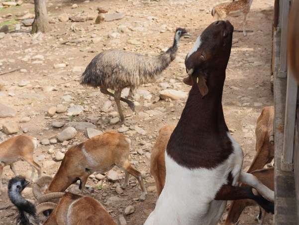 A goat leaps up to the safari truck at Catoctin Zoo in Maryland.