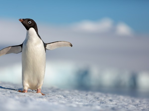 """Disneynature's all-new feature film """"Penguins"""" is a coming-of-age story about an Adélie penguin named Steve who joins millions of fellow males in the icy Antarctic spring on a quest to build a suitable nest, find a life partner and start a family. None of it comes easily for him, especially considering he's targeted by everything from killer whales to leopard seals, who unapologetically threaten his happily ever after. From the filmmaking team behind """"Bears"""" and """"Chimpanzee,"""" Disneynature's """"Penguins"""" opens in theaters nationwide in time for Earth Day 2019."""