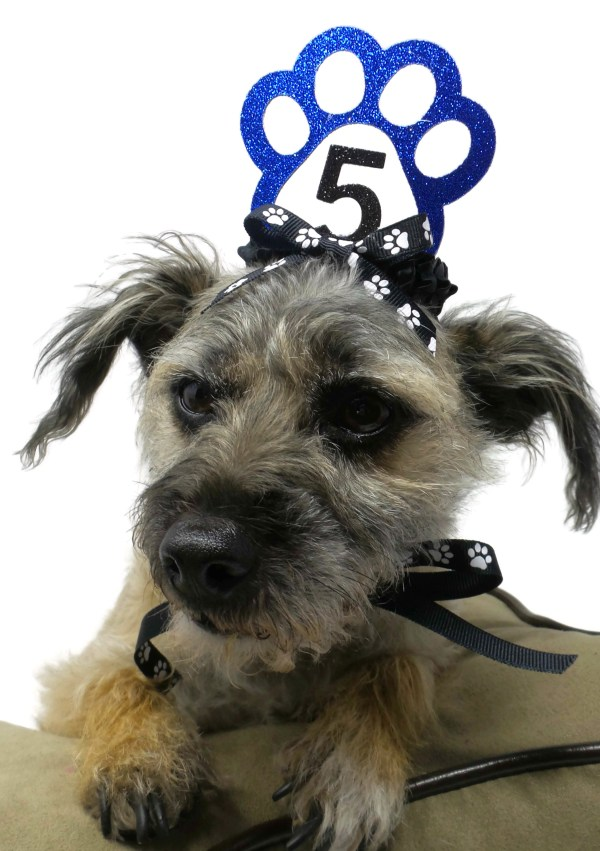 Blue dog birthday crown, Misfit Manor Shop, The rescue mama