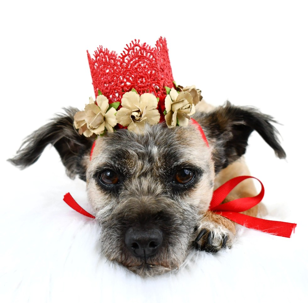 Dog Crown, Dog Birthday Hat, Dog Wedding Attire, Misfit Manor Shop
