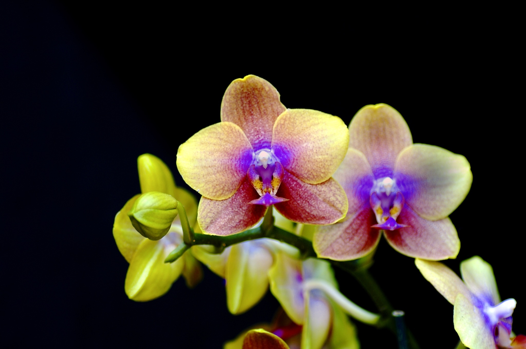 Orchids on display at the Krohn Conservatory of Cincinnati
