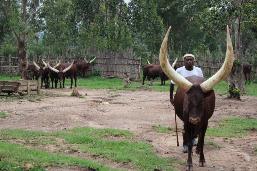 Rwandan Royal Cows