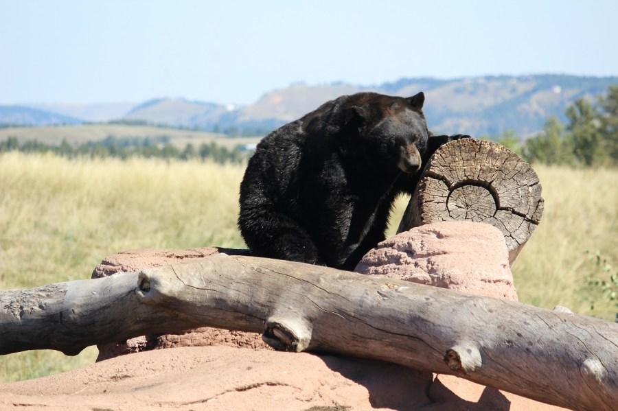Bear at Bear Country USA