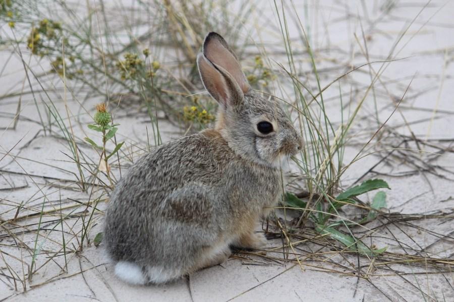 Badlands Bunny
