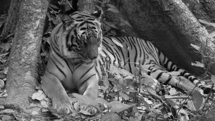 tiger laos