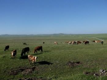 Cows and vicious shepherddogs near Kars
