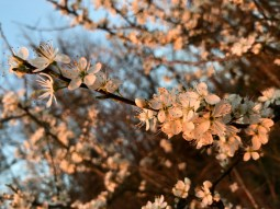 French country - cherry blossoms