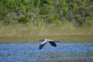 great-blue-heron-flies-low-over-everglades