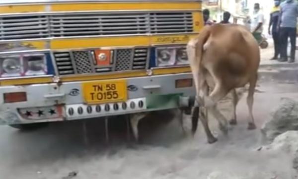 இதுதான்பா தாய்ப்பாசம்!! லாரிக்கு அடியில் சிக்கிக் கொண்ட தனது குட்டியை காப்பாற்றுவதற்கு பசு செய்த முயற்சியை பாருங்கள்!!