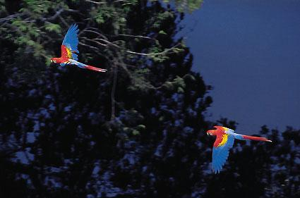 mamiraua-amazon-bird-scarlet-macaw-ara-macao-by luiz claudio marigo