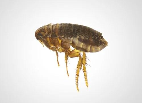 Thermo-bug hilft auch gegen den Katzenfloh