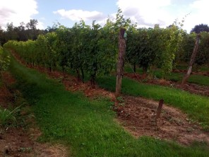 buttonwood_vineyard