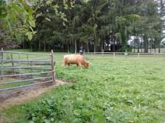 melody_scottish_highland_cow