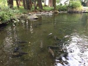 Rearing pond