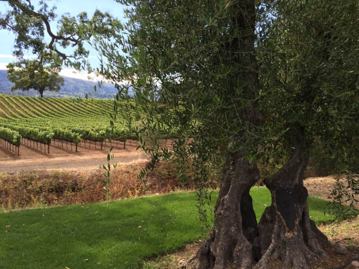 B. R. Cohn olive tree and vineyard