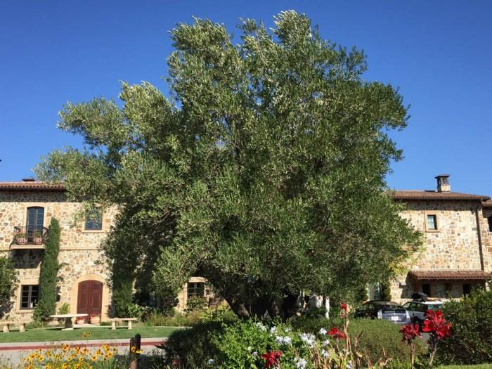 The Olive Press tree