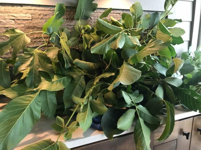 Plants for botanical printing