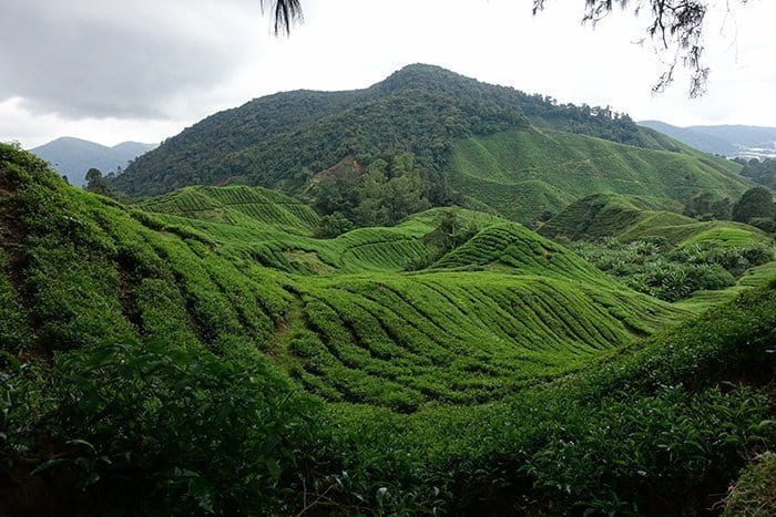 Things to do in The Cameron Highlands, Things to do in Cameron Highlands, Hiking in through the dramatic tea plantations of the Cameron Highlands, Malaysia, gunung brinchang, mossy forest, routes, trails, tracks, guide, which trails in the cameron highlands are the best, safety, tips, plants, pitcher plants, tea fields, BOH, where to stay, Tanah Rata, Hostel, guest house, map, scorpion, insects, jungle, rainforest, forest, mountain, hitch hike, bus, how to get to the Cameron Highlands, Mount Irau, cameron highlands malaysia,