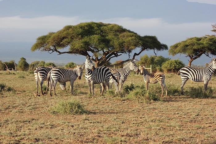 Zebras under a tree, Backpacker Kenya Safari, Tanzania budget safari, Backpackers Africa, Kenya budget safari, Affordable African safari, Safari on a budget, African safari on a budget