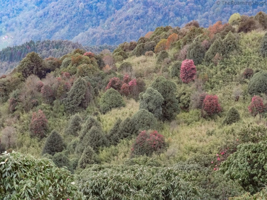 Rhododendrons forest in Varsey