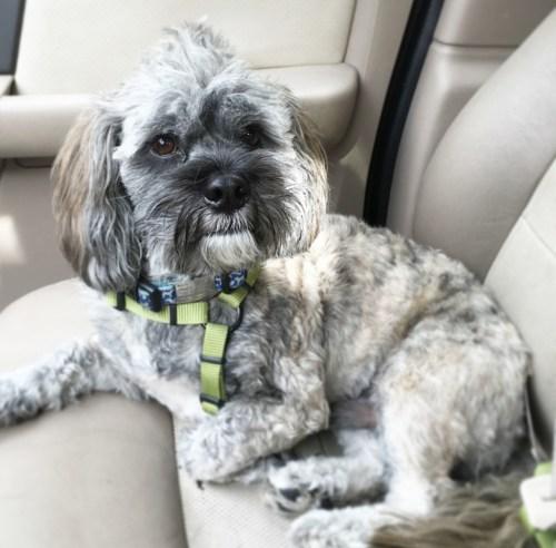 Mr. Twix before Pet Smart grooming service